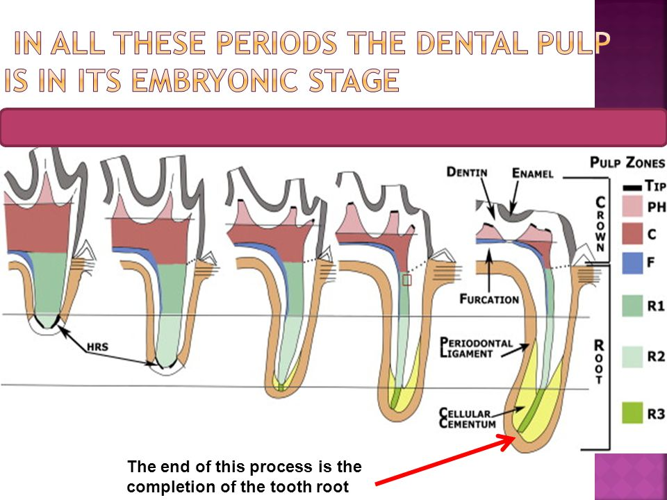 In all these periods the dental pulp is in its embryonic stage