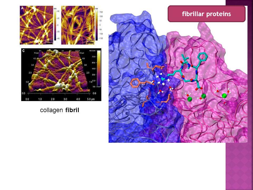 fibrillar proteins collagen fibril