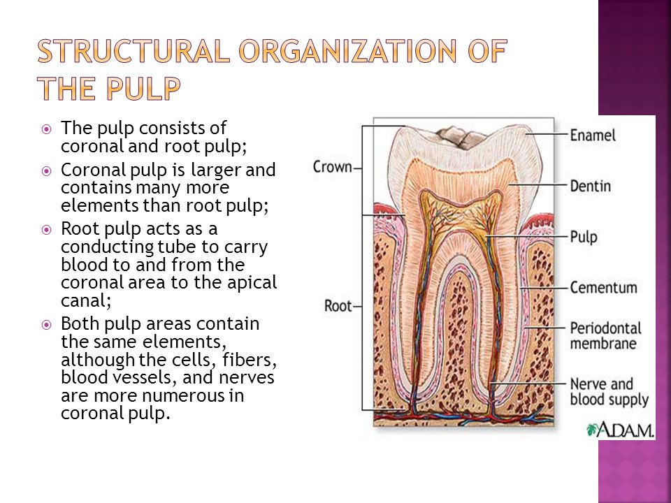 Structural Organization of the Pulp