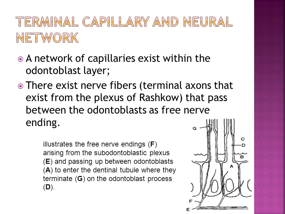 Terminal capillary and neural network