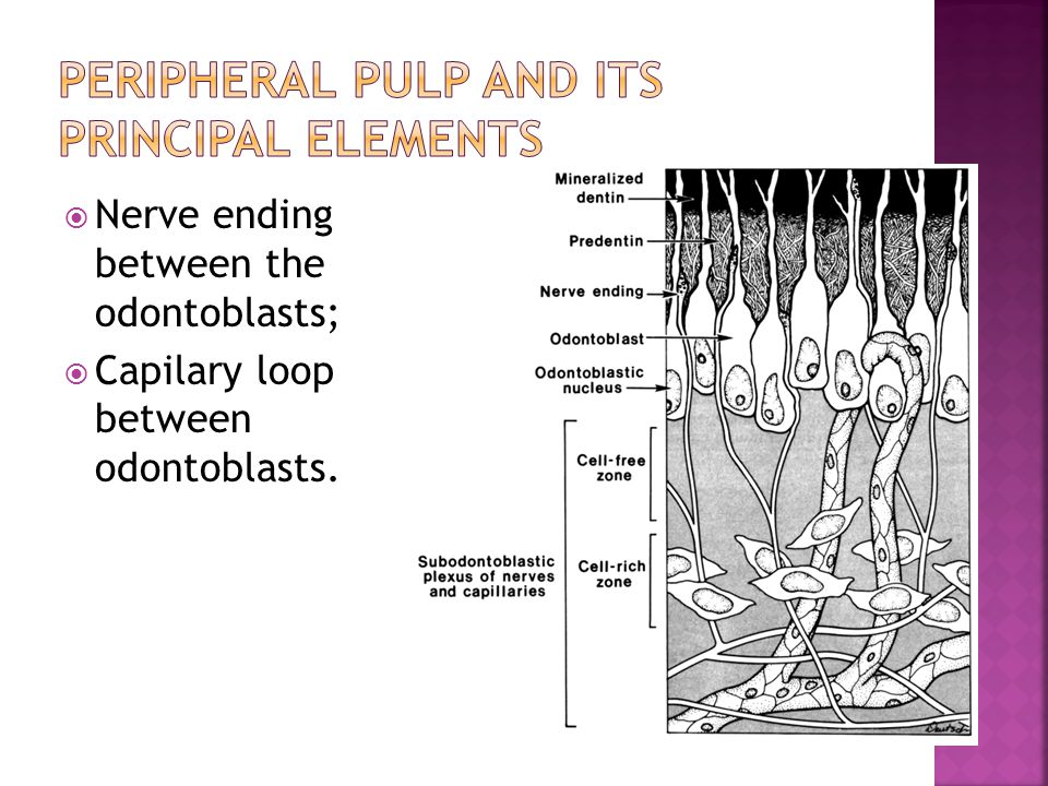 Peripheral Pulp and its Principal Elements