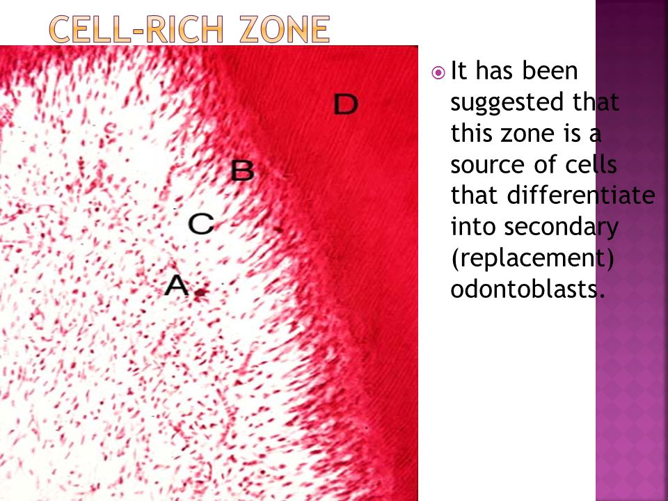 Cell-rich zone It has been suggested that this zone is a source of cells that differentiate into secondary (replacement) odontoblasts.