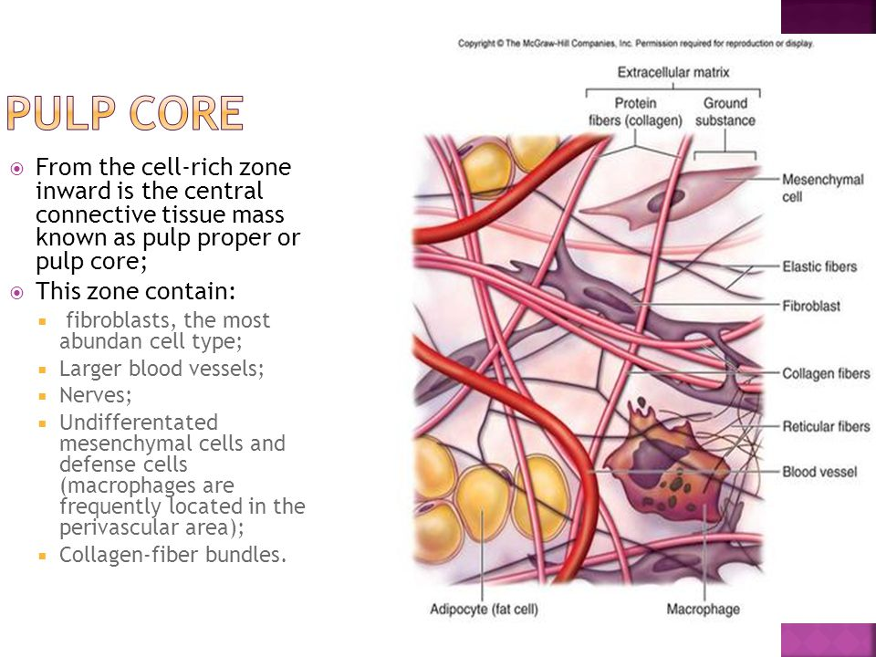 Pulp core From the cell-rich zone inward is the central connective tissue mass known as pulp proper or pulp core;