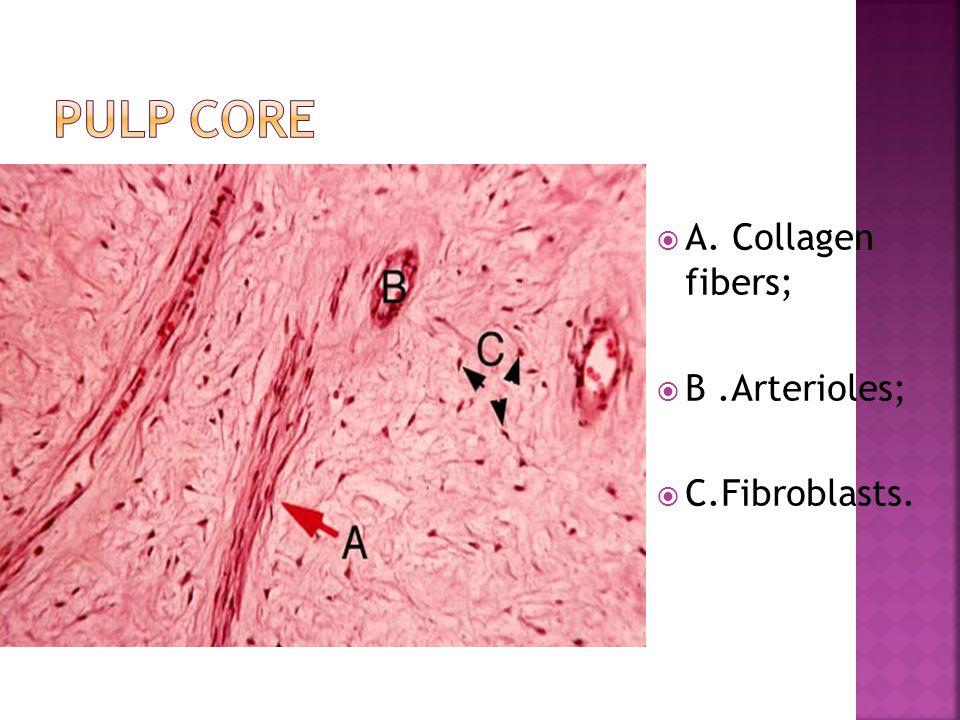 Pulp core А. Collagen fibers; В .Аrterioles; С.Fibroblasts.