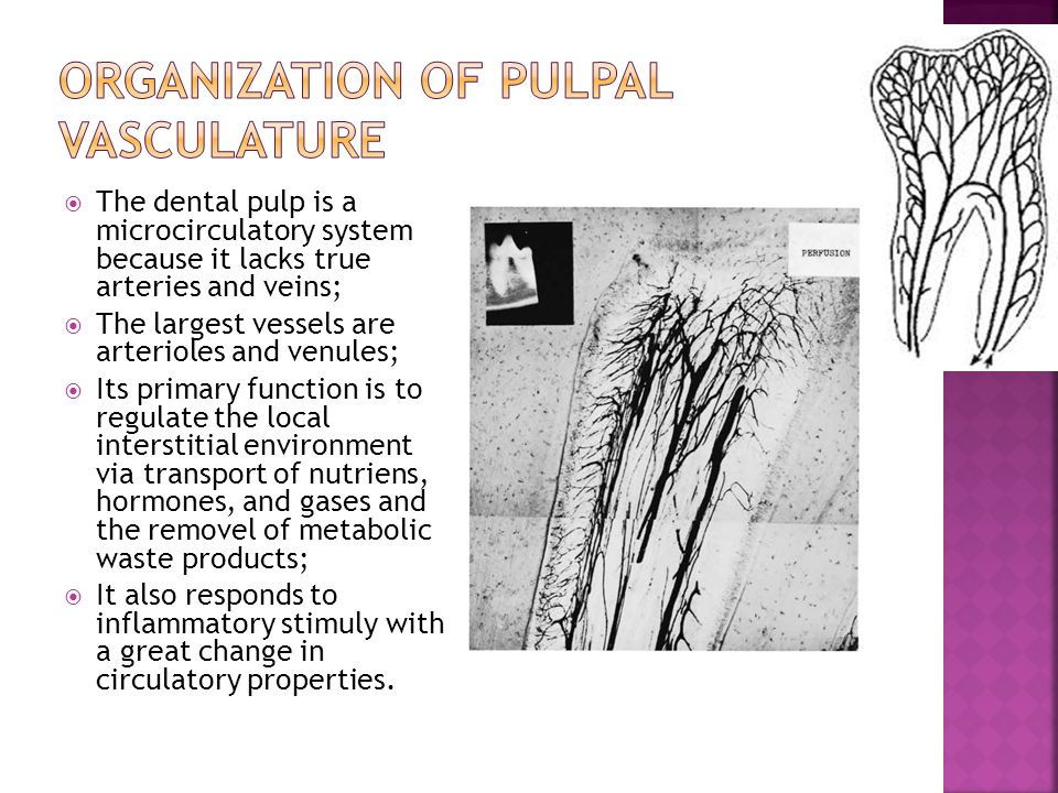 Organization of pulpal Vasculature