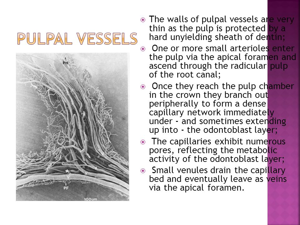 pulpal vessels The walls of pulpal vessels are very thin as the pulp is protected by a hard unyielding sheath of dentin;