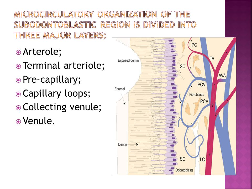 Arterole; Terminal arteriole; Pre-capillary; Capillary loops;