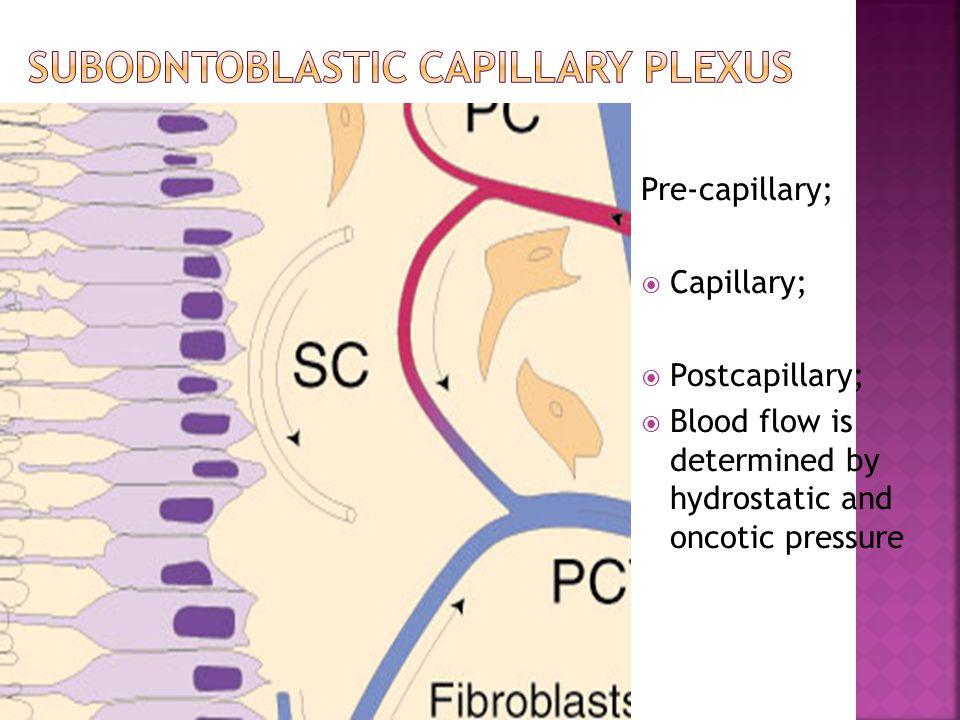 Subodntoblastic capillary plexus
