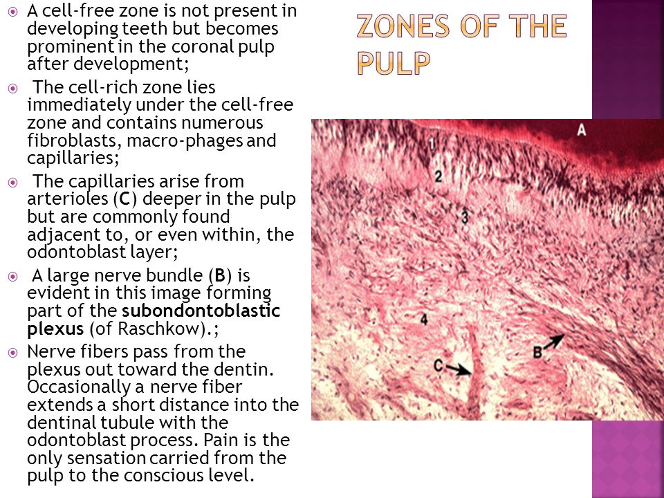 A cell-free zone is not present in developing teeth but becomes prominent in the coronal pulp after development;