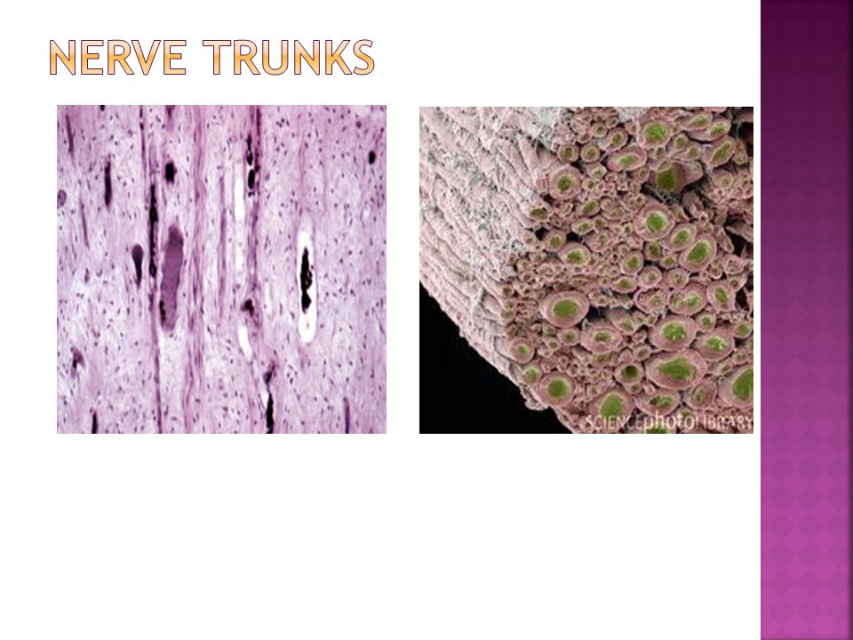 Nerve trunks