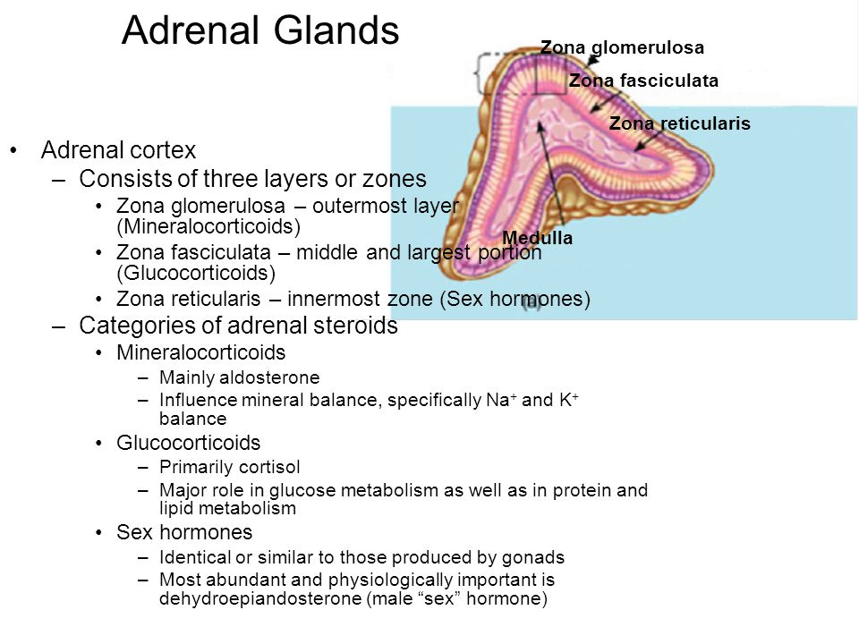 Adrenal Glands Adrenal cortex Consists of three layers or zones