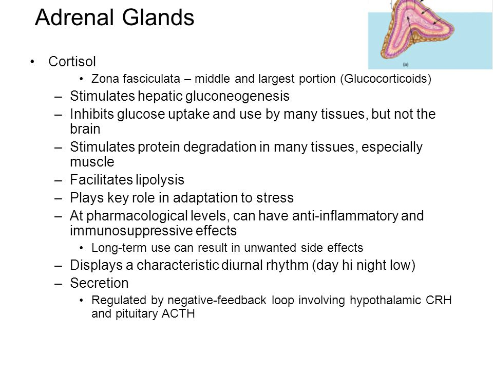Adrenal Glands Cortisol Stimulates hepatic gluconeogenesis