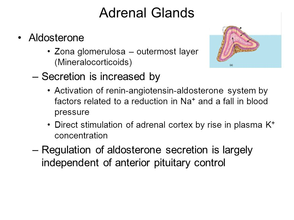 Adrenal Glands Aldosterone Secretion is increased by