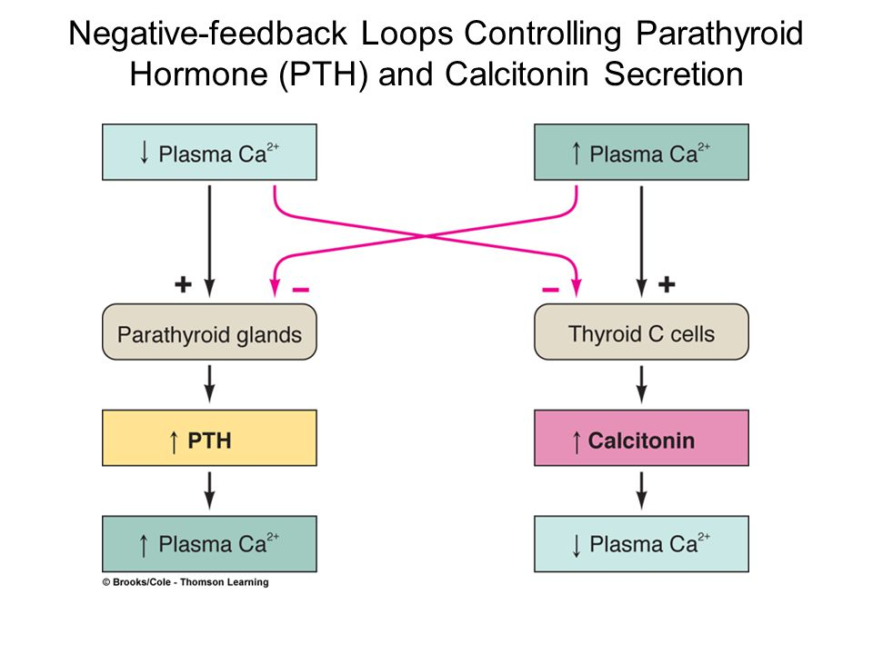 Negative-feedback Loops Controlling Parathyroid Hormone (PTH) and Calcitonin Secretion