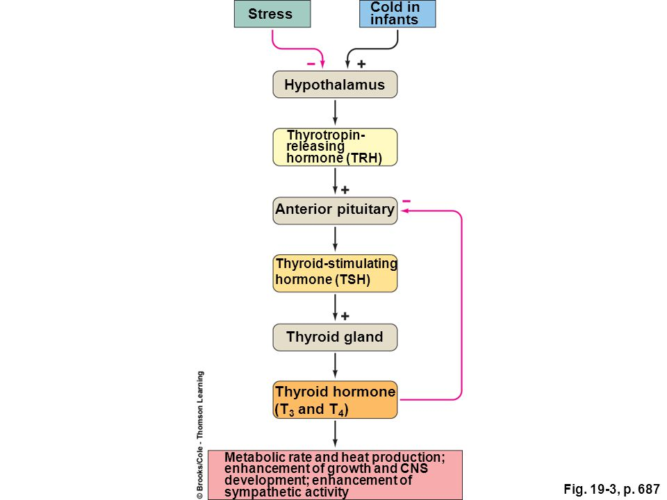Stress Cold in infants Hypothalamus Anterior pituitary Thyroid gland