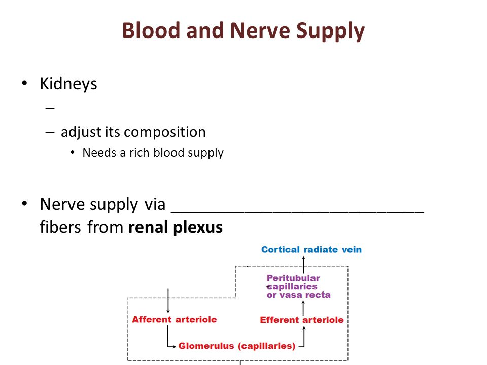 Blood and Nerve Supply Kidneys