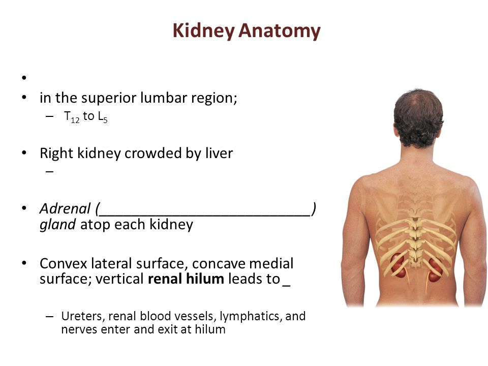 Kidney Anatomy in the superior lumbar region;