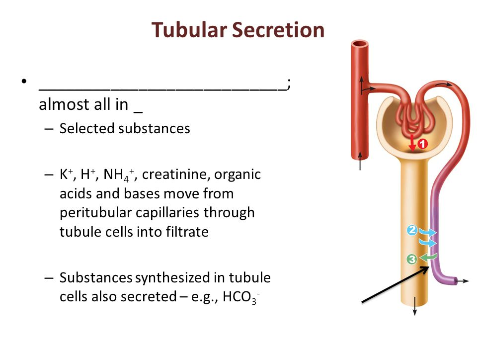 Tubular Secretion ___________________________; almost all in _