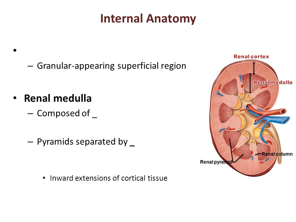 Internal Anatomy Renal medulla Granular-appearing superficial region