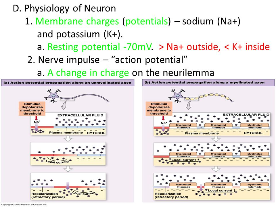 D. Physiology of Neuron 1. Membrane charges (potentials) – sodium (Na+) and potassium (K+). a. Resting potential -70mV. > Na+ outside, < K+ inside.