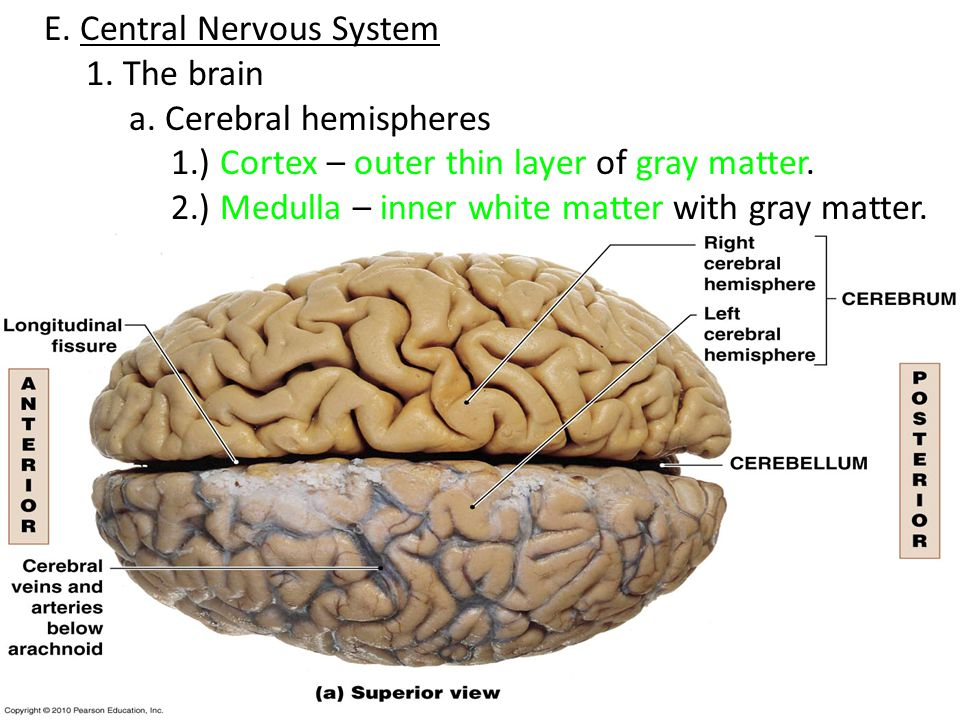 research on the brain hemispheres and the nervous system