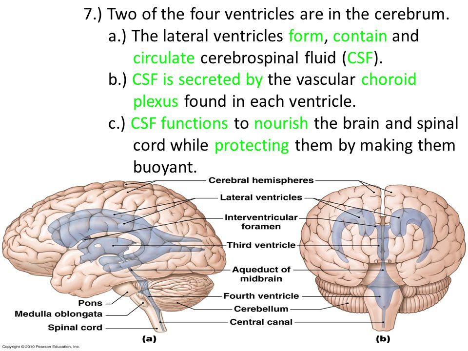 7.) Two of the four ventricles are in the cerebrum.