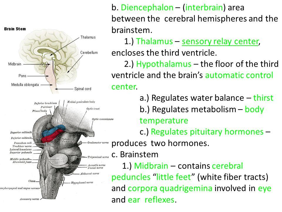 b. Diencephalon – (interbrain) area between the cerebral hemispheres and the brainstem.