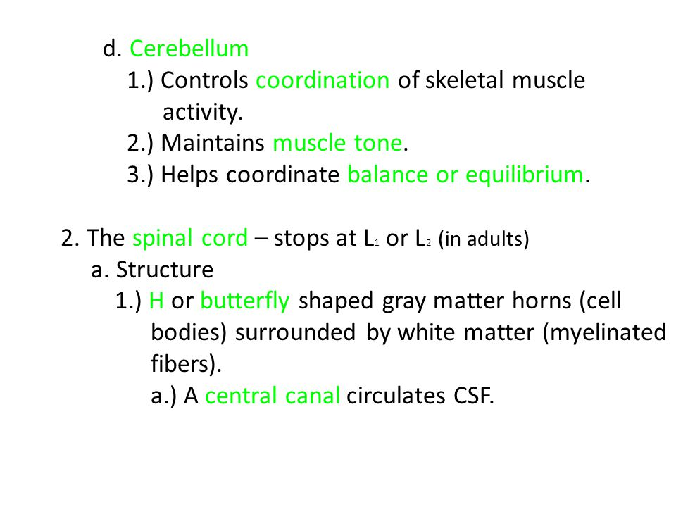 d. Cerebellum 1.) Controls coordination of skeletal muscle. activity. 2.) Maintains muscle tone. 3.) Helps coordinate balance or equilibrium.
