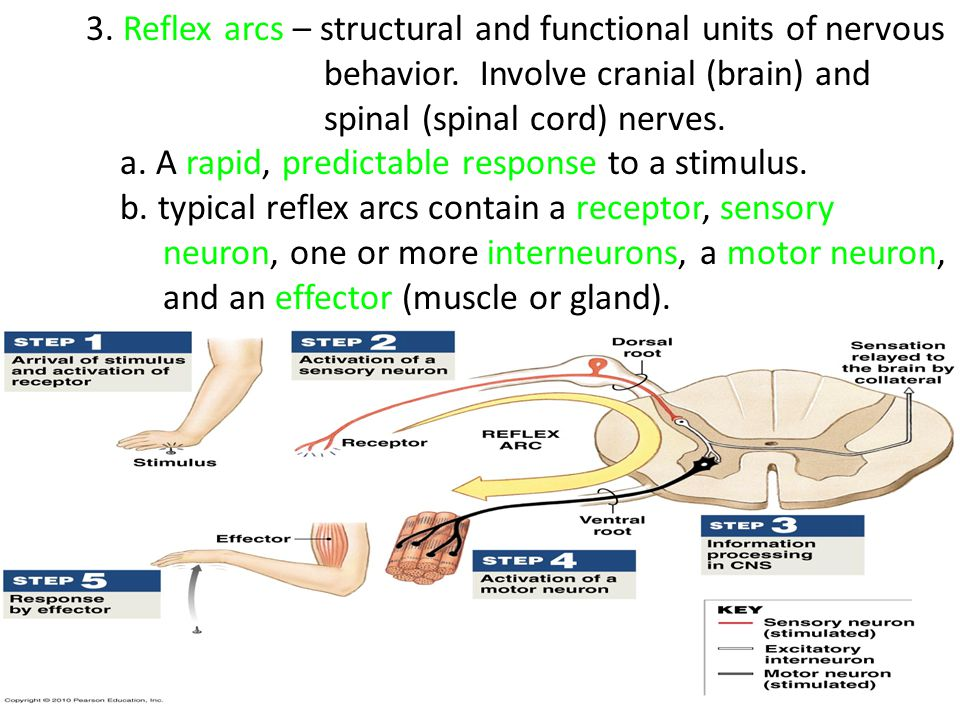 3. Reflex arcs – structural and functional units of nervous