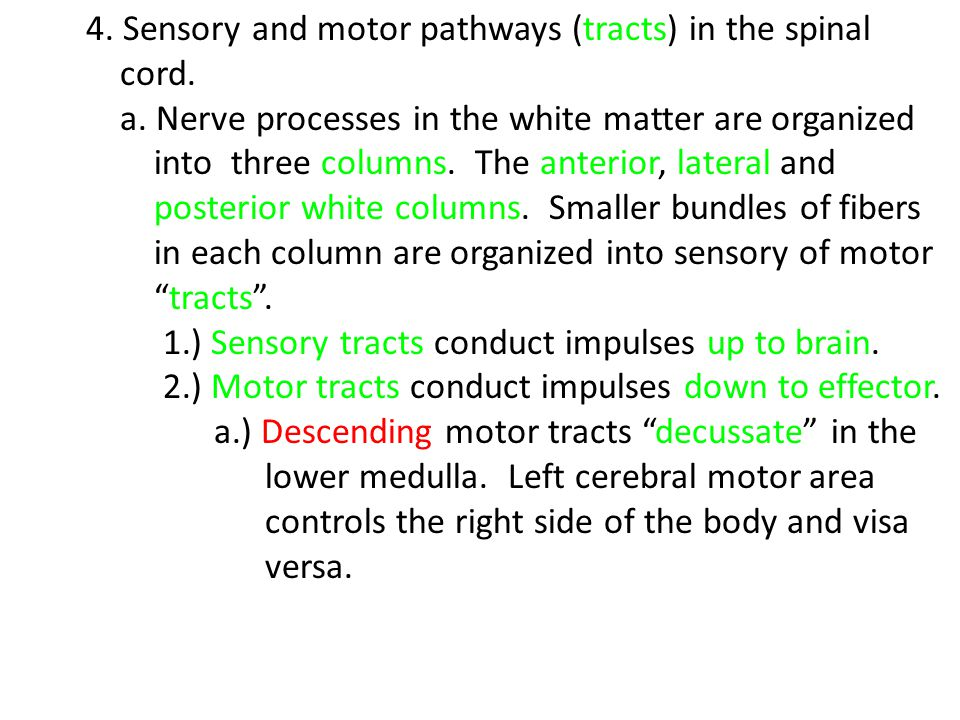 4. Sensory and motor pathways (tracts) in the spinal