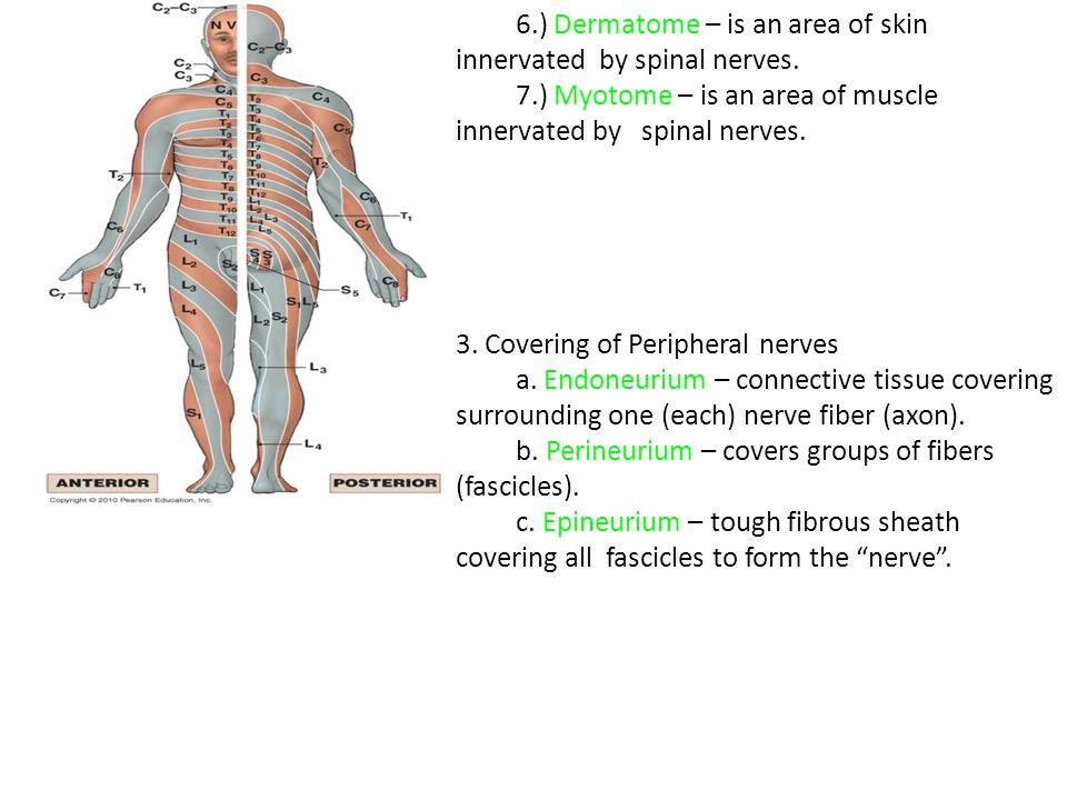 6.) Dermatome – is an area of skin innervated by spinal nerves.