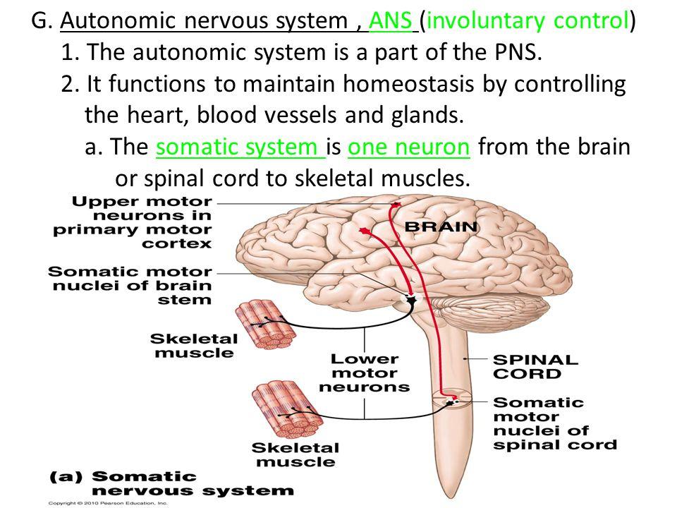 G. Autonomic nervous system , ANS (involuntary control)