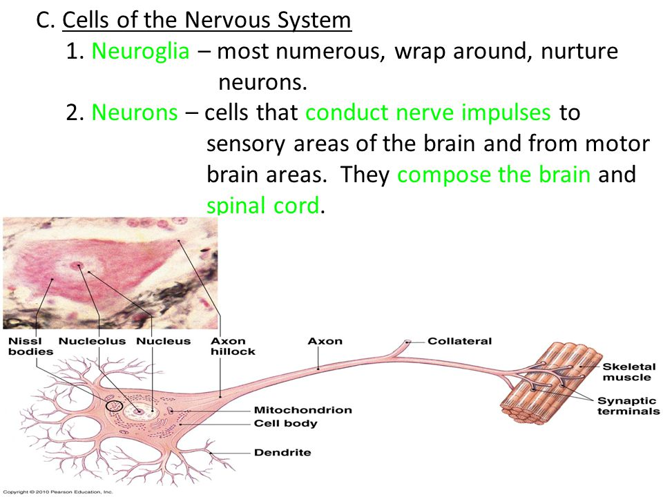 C. Cells of the Nervous System