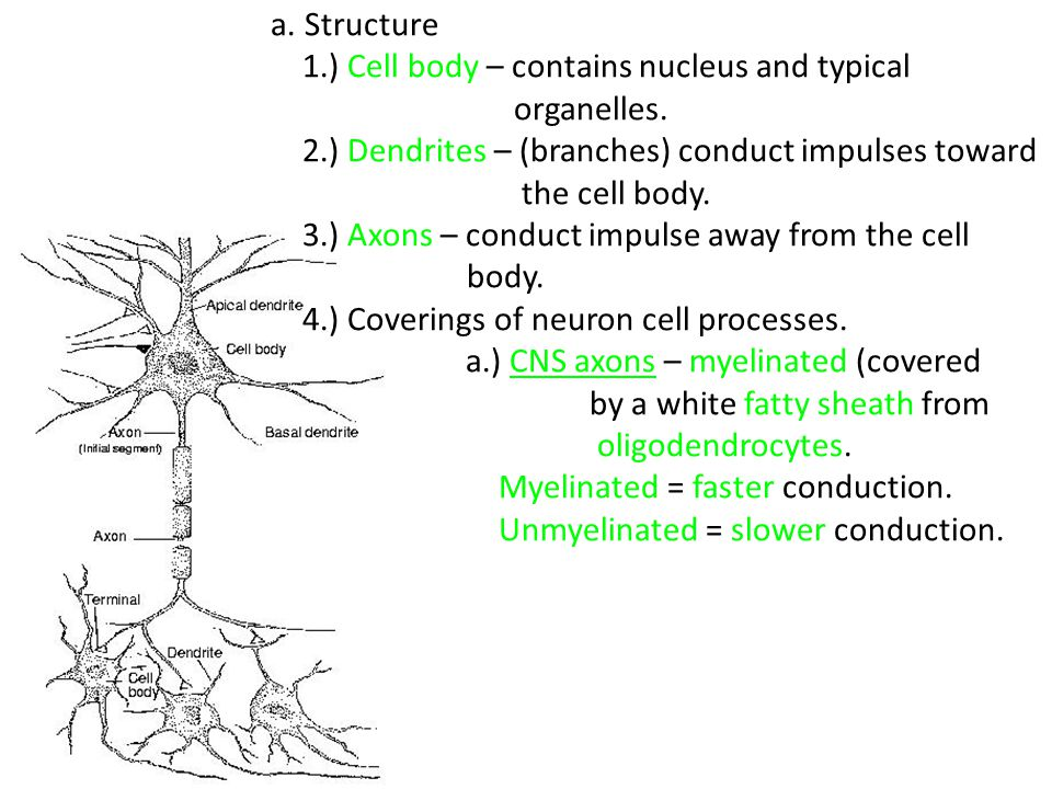 a. Structure 1.) Cell body – contains nucleus and typical. organelles. 2.) Dendrites – (branches) conduct impulses toward.