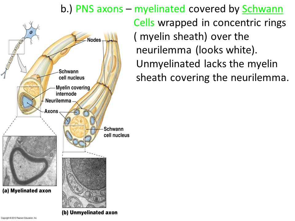 b.) PNS axons – myelinated covered by Schwann