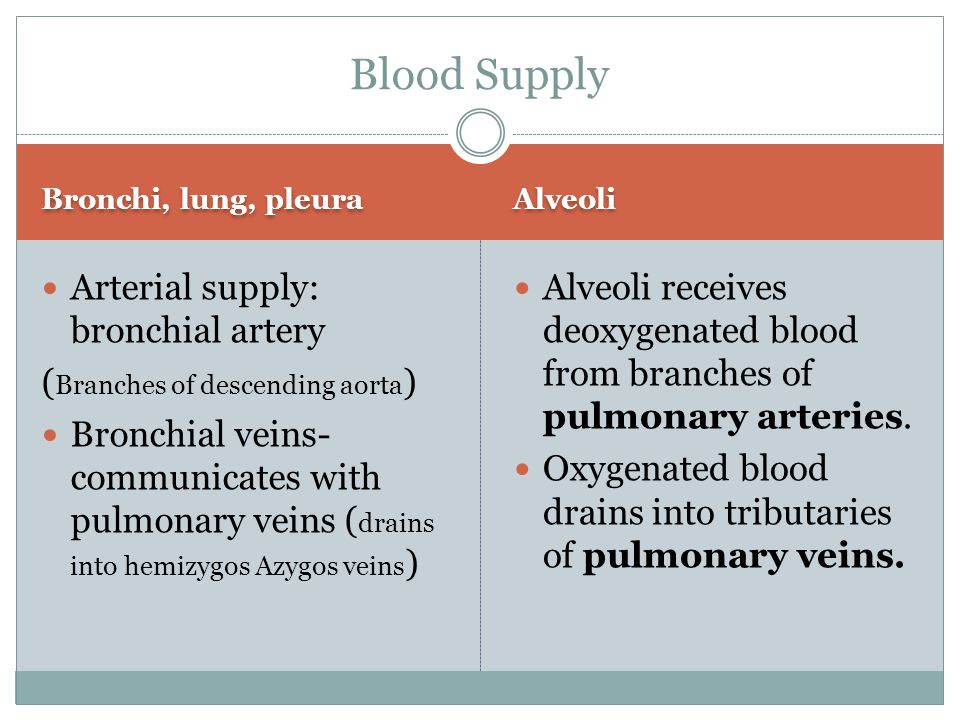 Blood Supply Arterial supply: bronchial artery