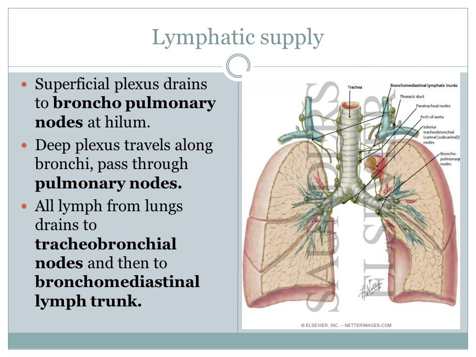 Lymphatic supply Superficial plexus drains to broncho pulmonary nodes at hilum. Deep plexus travels along bronchi, pass through pulmonary nodes.