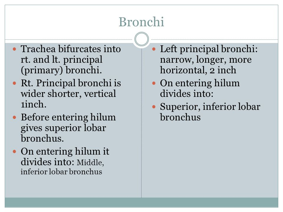 Bronchi Trachea bifurcates into rt. and lt. principal (primary) bronchi. Rt. Principal bronchi is wider shorter, vertical 1inch.