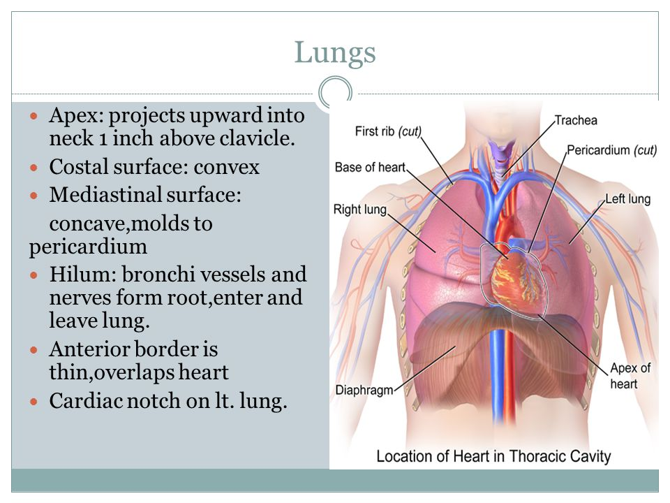 Lungs Apex: projects upward into neck 1 inch above clavicle.