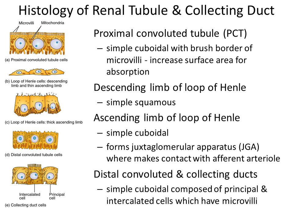 Histology of Renal Tubule & Collecting Duct