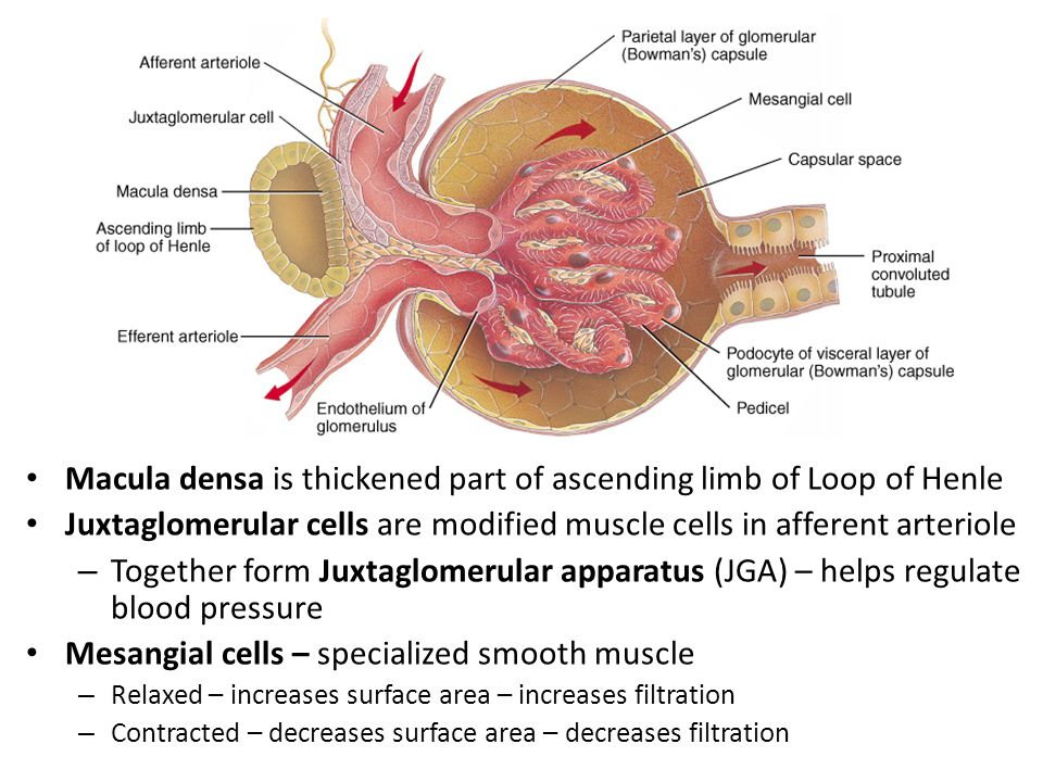 Macula densa is thickened part of ascending limb of Loop of Henle