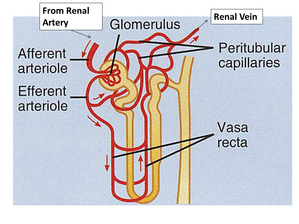 From Renal Artery Renal Vein