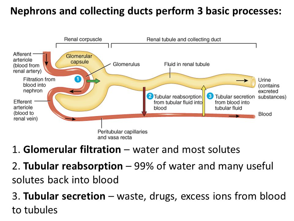 Nephrons and collecting ducts perform 3 basic processes: