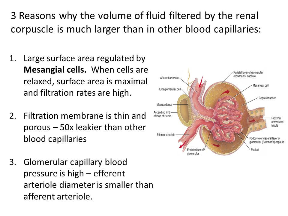 3 Reasons why the volume of fluid filtered by the renal corpuscle is much larger than in other blood capillaries: