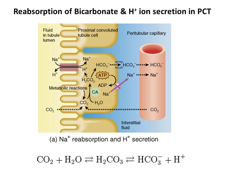 Reabsorption of Bicarbonate & H+ ion secretion in PCT