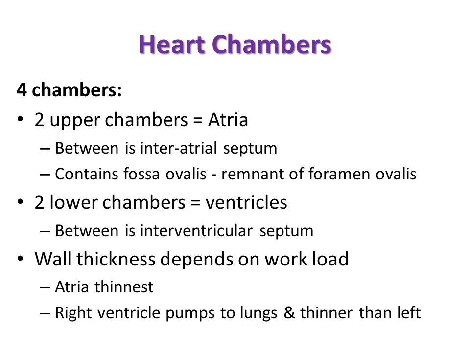 Heart Chambers 4 chambers: 2 upper chambers = Atria