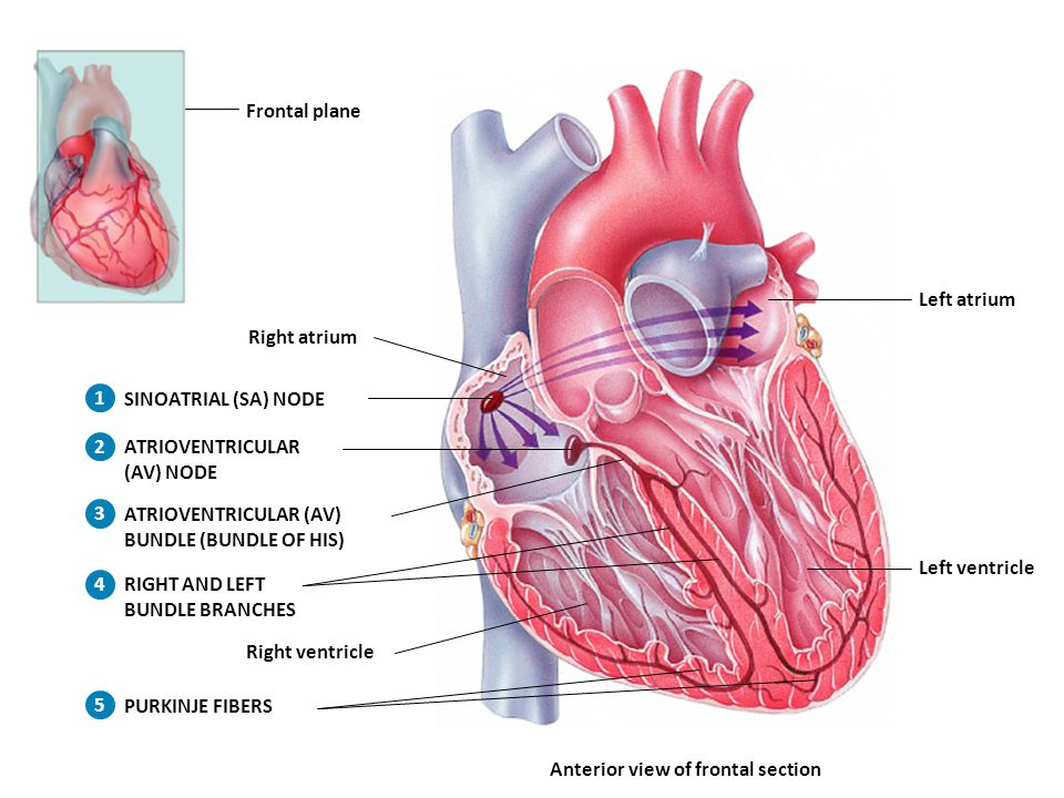 Frontal plane SINOATRIAL (SA) NODE. ATRIOVENTRICULAR. (AV) NODE. Left atrium. Left ventricle. Anterior view of frontal section.