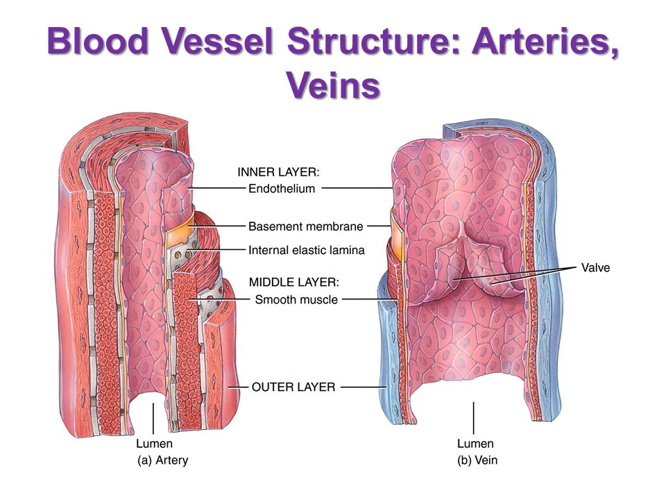 Blood Vessel Structure: Arteries, Veins