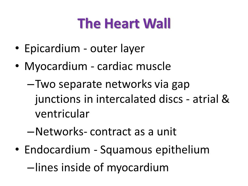 The Heart Wall Epicardium - outer layer Myocardium - cardiac muscle