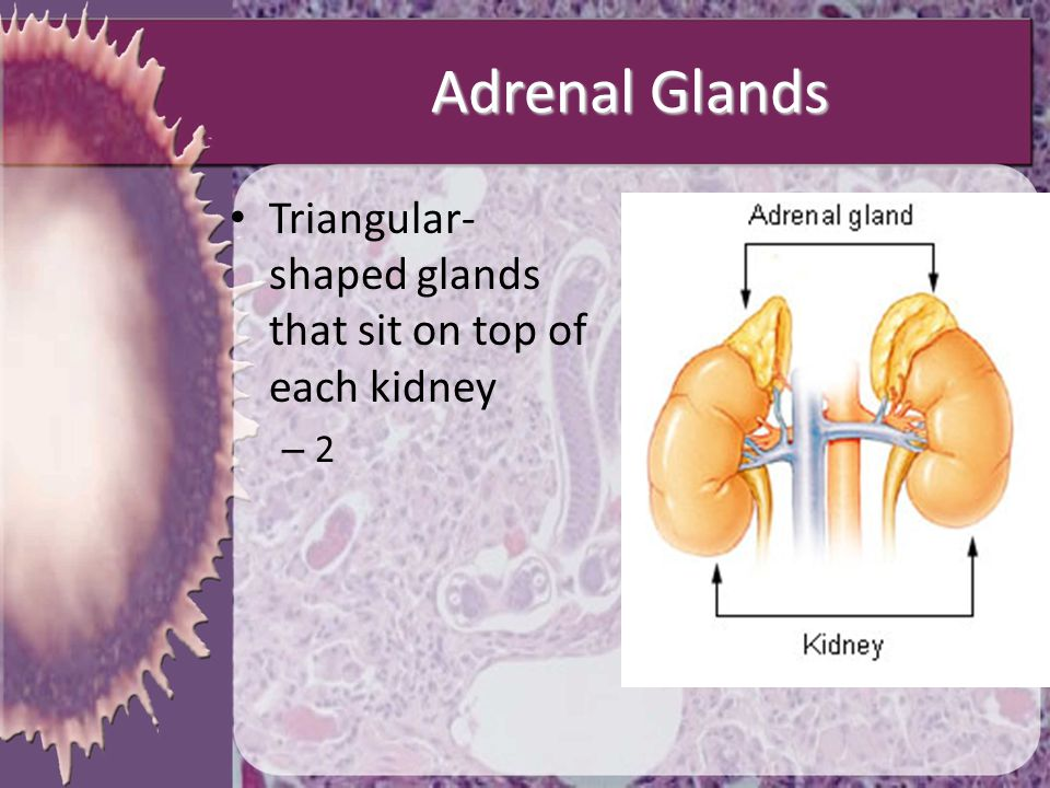 Adrenal Glands Triangular-shaped glands that sit on top of each kidney